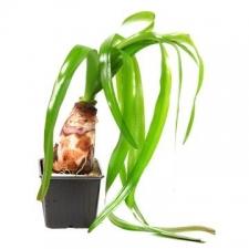 Tropica Crinum thaianum XL