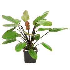 Tropica Echinodorus 'Barthii' XL