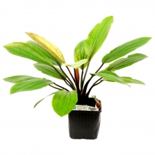 Tropica Echinodorus 'Rosé' XL