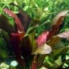 echinodorus-x-barthii-5_1.jpeg